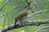 Woodpecker, Laced (male) @ Pasir Ris Park
