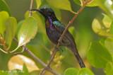 Sunbird, Copper-throated (male) @ Pulau Ubin