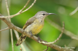 Sunbird, Copper-throated (female) @ Pulau Ubin