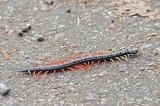 Scolopendra Centipede