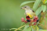 Flowerpecker, Orange-bellied (female)