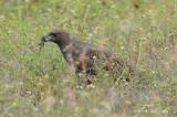 Eagle, Changeable Hawk (dark morph) @ Changi