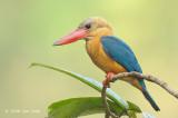Kingfisher, Stork-billed @ Kinabatangan