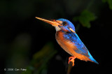 Kingfisher, Blue-eared @ Menanggol River