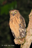 Owl, Buffy Fish @ Kinabatangan