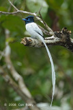 Flycatcher, Asian Paradise (male white morph)