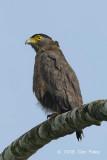 Eagle, Crested Serpent @ Kinabatangan