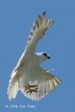 Kite, Black-shouldered @ Sungei Tenegan Besar