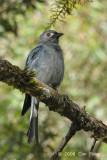Drongo, Ashy @ Mt. Kinabalu