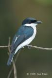 Shrike, Black-winged Flycatcher (male) @ Sepilok
