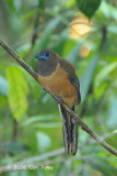 Trogon, Red-naped (female) @ Sepilok