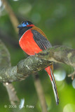 Trogon, Red-naped (male) @ Sepilok