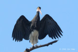Stork, Storm's @ Kinabatangan River