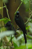 Drongo, Lesser Racket-tailed @ Hemmant Trail