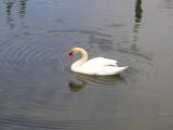 Southhampton Swan.jpg