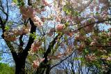 Cherry blossom festival in Brooklyn