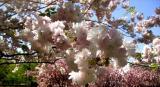 Cherry blossoms ready for their closeups