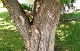 Gnarly tree in Phoenix