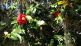 Bonaventure flowers