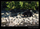 Black Bear at Fortune Channel, Vancouver Island