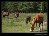 New Forest Ponies #1, Hampshire