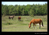New Forest Ponies #3, Hampshire