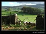 Horned Sheep, Wensleydale, North Yorkshire