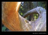 Twin Trunked Coast Redwood, Portmeirion