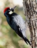 Acorn Woodpecker .jpg