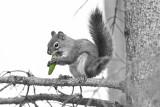 Squirrel BW.jpg