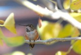 Female Allen's Hummingbird????