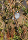 Sweet White Crowned Sparrow