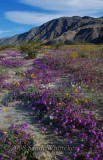 The Illusive Anza-Borrego Bloom