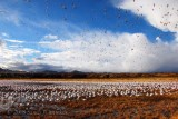 Snow Geese Getting Some Exercise