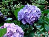 Hydrangea (Butchart Gardens).jpg