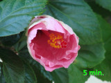 hibiscus  5 min.jpg