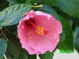 hibiscus 58 min.jpg