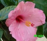 hibiscus  80 min.2.jpg