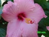 hibiscus  103 min.jpg