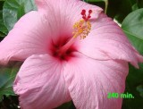 hibiscus  240 min.jpg