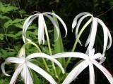 String Lily.JPG