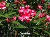 Red Oleander.JPG