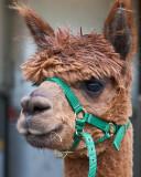 alpaca_day