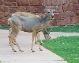 Deer frolic at the Zion lodge