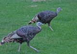 Wild turkeys at Zion