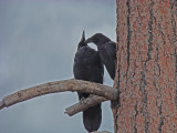 A couple of ravens sharing dinner in Bryce Canyon