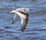 Skuas, Gulls and Terns