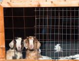 Goats-1137.jpg