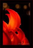 Flame: Red Jade Vine