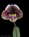 Paph (unnamed cross) 'Winding Road' HCC/AOS